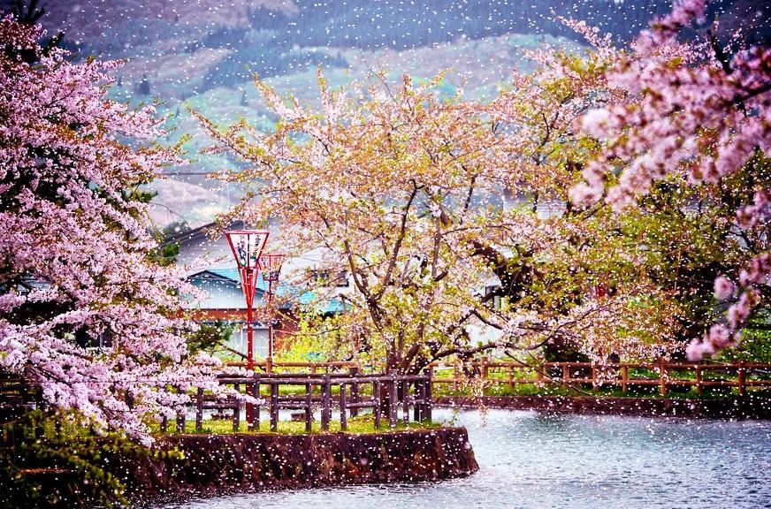 Hanami-Festival-at-Mato-Park-Yokote-Snowing-Sakura