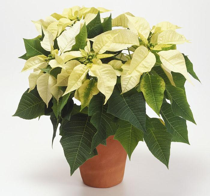 Комнатные цветы-талисманы по знаку зодиака. Теперь точно знаю, какой именно вазон мне нужен изоражения