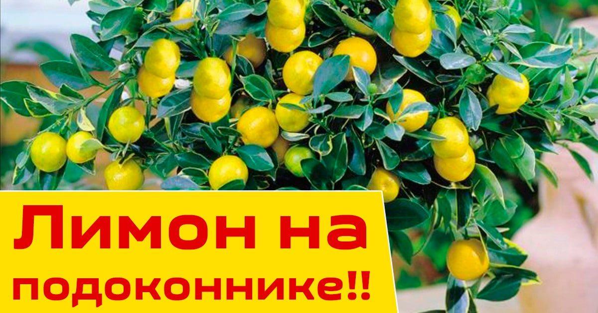 Как вырастить лимон у себя на подоконнике!