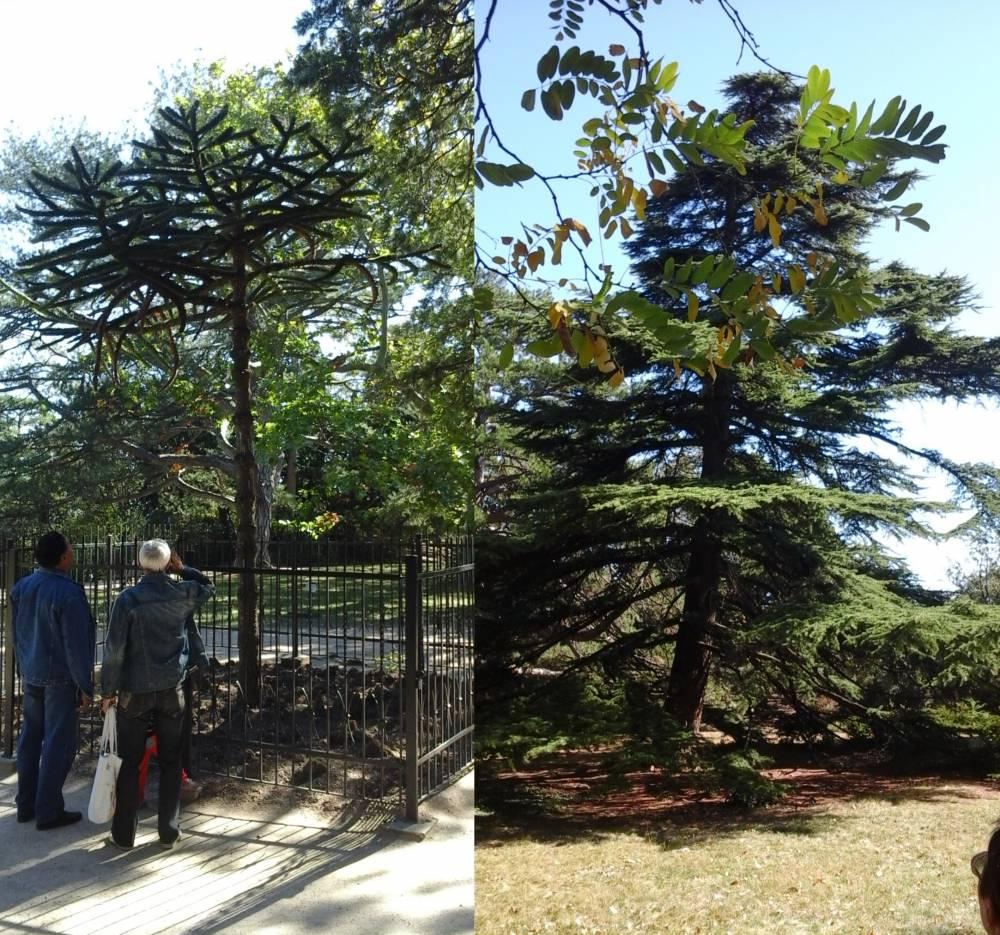 библейские маслины и Ливанский кедр vorontsovskogo dvortsa v alupke