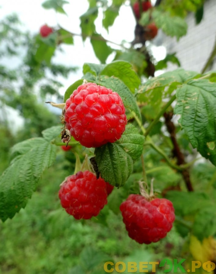 Малина: как вырастить богатый урожай при минимуме усилий