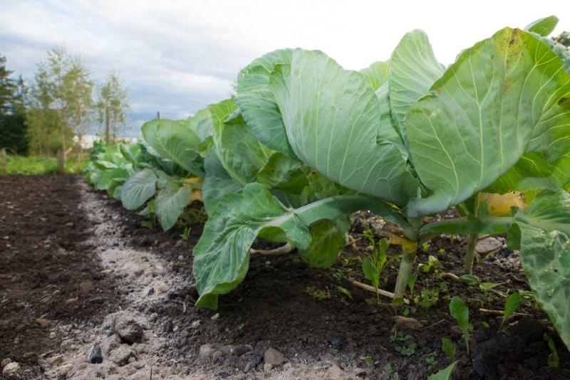 как вырастить капусту белокочанную