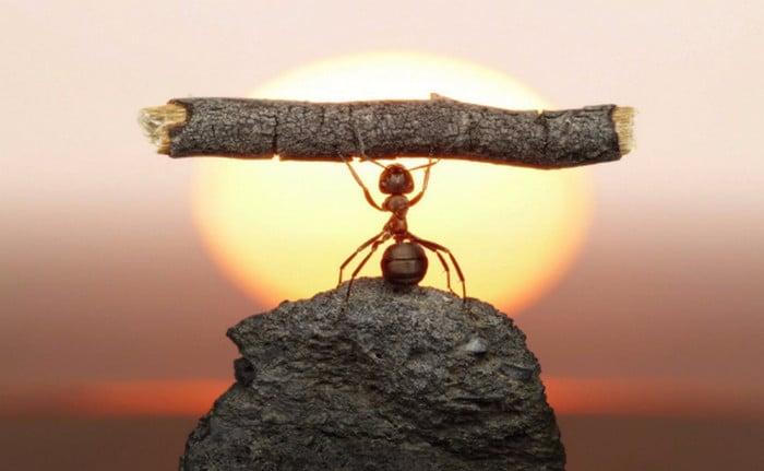 муравей несет бревно