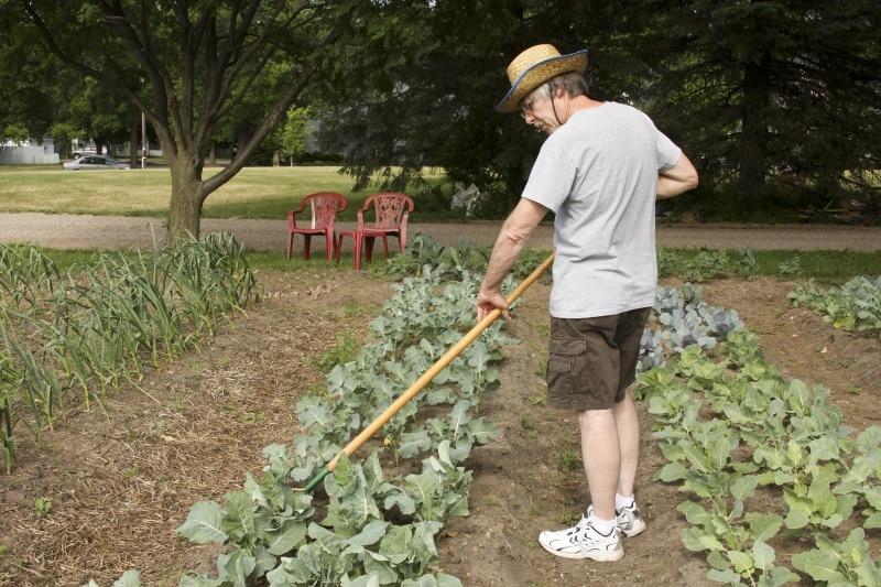 как вырастить капусту в огороде