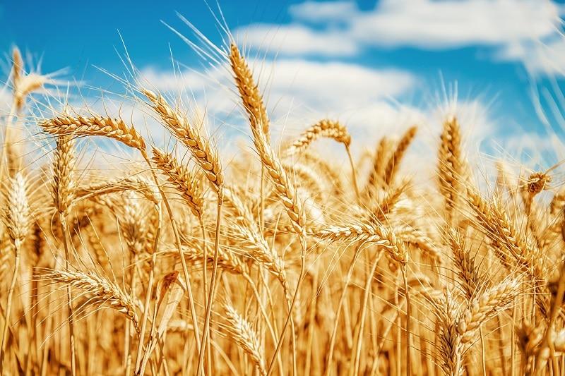 поле зернова