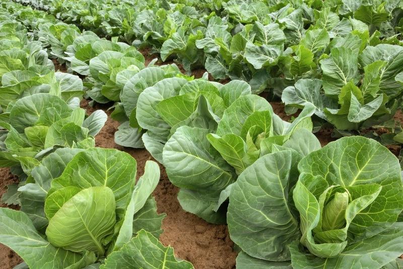 как вырастить здоровую капусту
