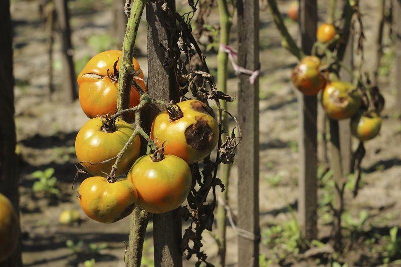почему чернеют и гниют помидоры