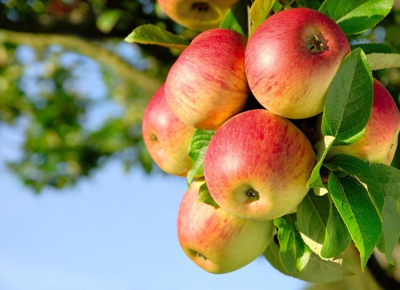 молодильные яблоки купить